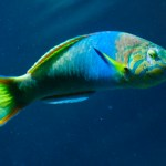 Spotlight Parrotfish at the Wonders of Wildlife National Museum and Aquarium