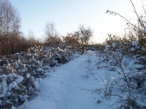 Havtornsbuskarna i vinterskrud