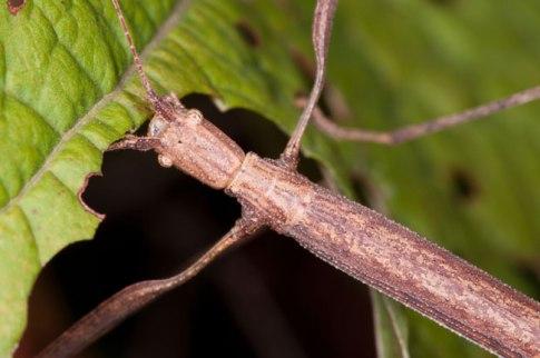 """Ce phasme est l'un des nombreux insectes fascinants que les visiteurs pourront voir Samedi à la """"Bug Discovery Station"""". Photo par Mark Yokoyama."""
