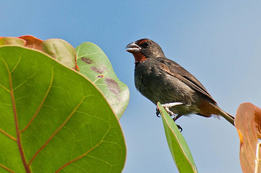 Le Sporophile Rouge-gorge est l'une des nombreuses espèces endémiques régionales trouvées sur St. Martin. Il ne vit que dans les Petites Antilles et les îles Vierges. Photo par: Mark Yokoyama