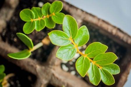 Des semis gratuits de l'arbre Gaïac, également connu comme Lignum Vitae, seront distribués au festival des oiseaux migrateurs ce Samedi.