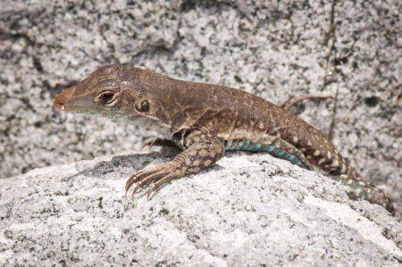 Notre Ameive de Plée local, une sous-espèce trouvée seulement sur St. Martin, est présenté dans les panneaux sur la faune indigène au St. Maarten Zoo