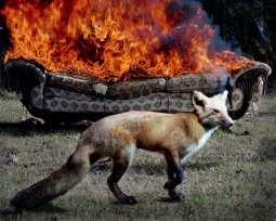 Fox ©Jody Fausett