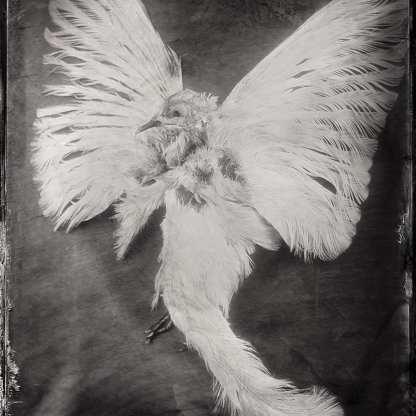 White Dove ©Nicole LeCorgne