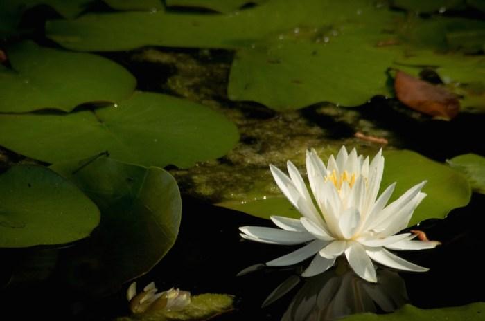 Okefenokee Waterlily ©Myrtie Cape