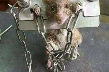 السلطات السعودية تلقي القبض على فأر التهم 18 ألف ريال!