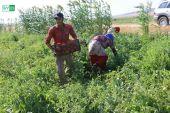 المزارعون يحذرون.. محصول البندورة بريف حلب في خطر