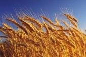 النظام يستورد 200 ألف طن من القمح الروسي!