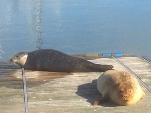 zeehonden op de jollensteiger