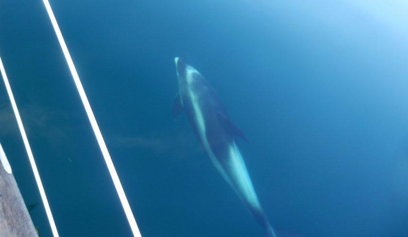 Weißseitendelfin