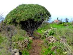 Drachenbaum K