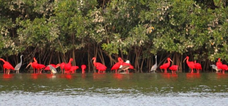 Trinidad, Caroni Swamp, Scharlachibisse