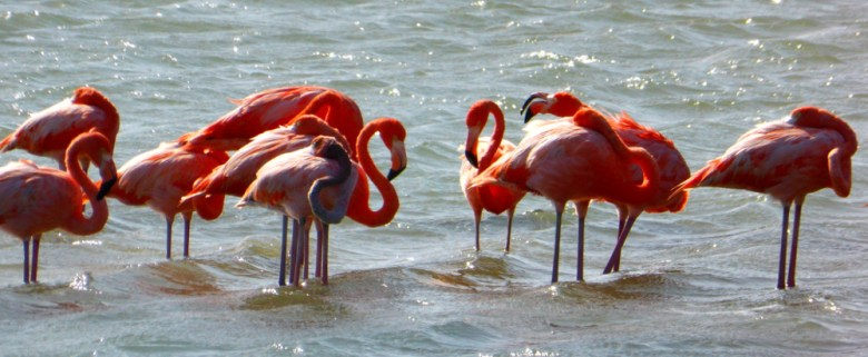Flamingos in Willibrordus, Curacao