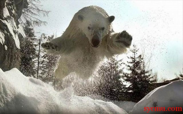 polar bear attacks the photographer