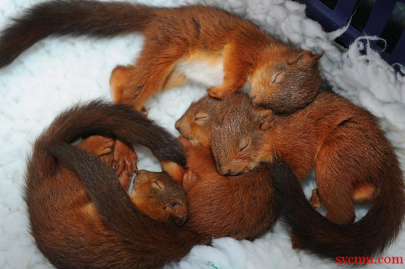 Squirrels cuddling and sleeping