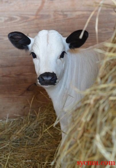 White Baby Cow