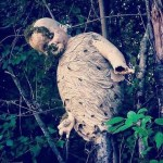 The Creepiest Wasp Nest