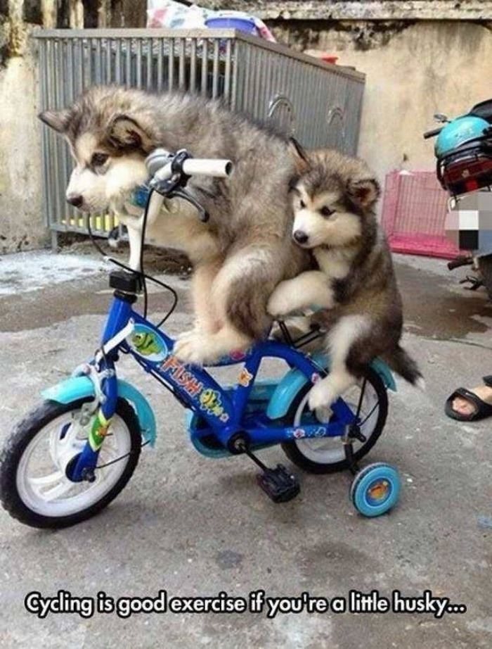 Huskey on bicycle