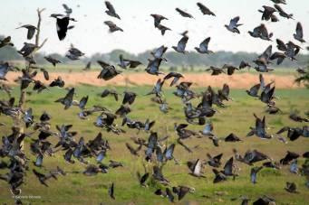 Impresionante cantidad de palomas