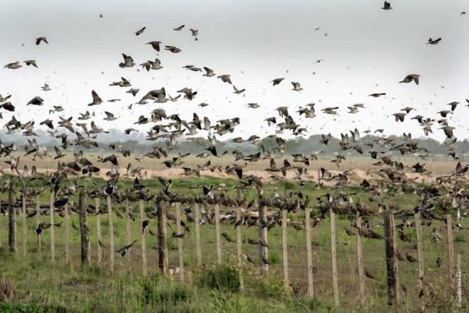 Caza de palomas en Argentina