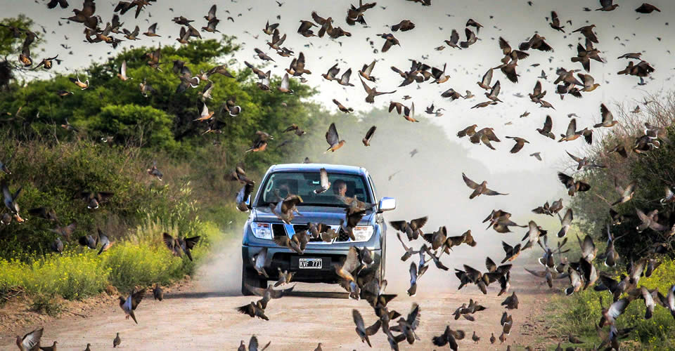Dove hunt in Argentina