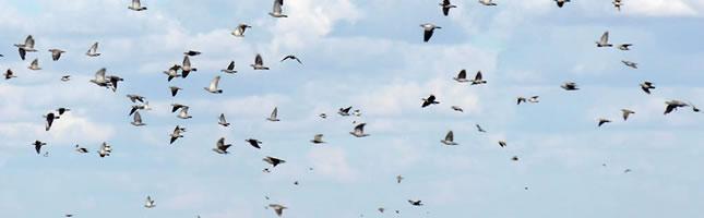 Pigeon hunt Argentina