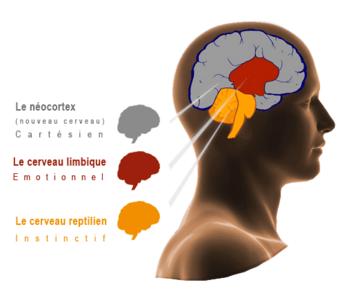 Nos 3 cerveaux