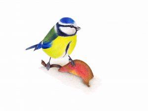 Mijn allereerste tekening met kleurpotloden, een pimpelmees.