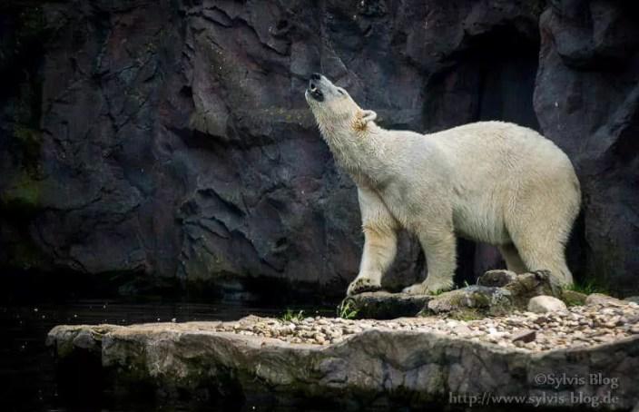 Imposanter Eisbär