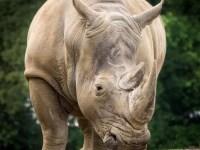 Rhinozeros im Anmarsch