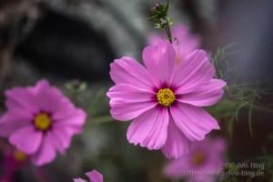 Rosa Blüte Nr. 4 mit Soligor 80-200 mm