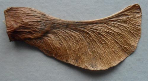 Maple Seed