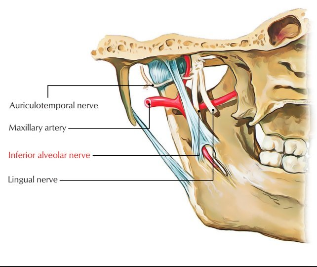 A closer look at the alveolar nerve.