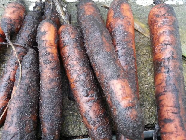 carottes sorties de terre bledina