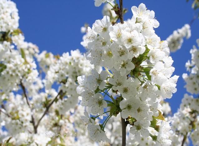 cerisier ciel bleu sysyinthecity