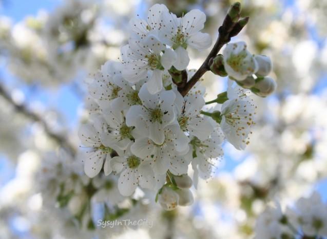 cerisier sysy in the city