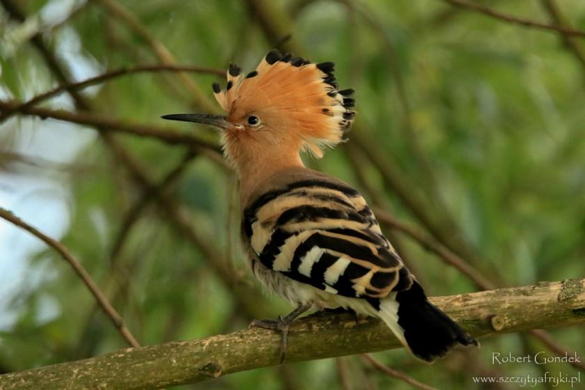 Ptaki w Polsce: Dudek