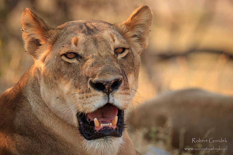 Lew w Chobe National Park
