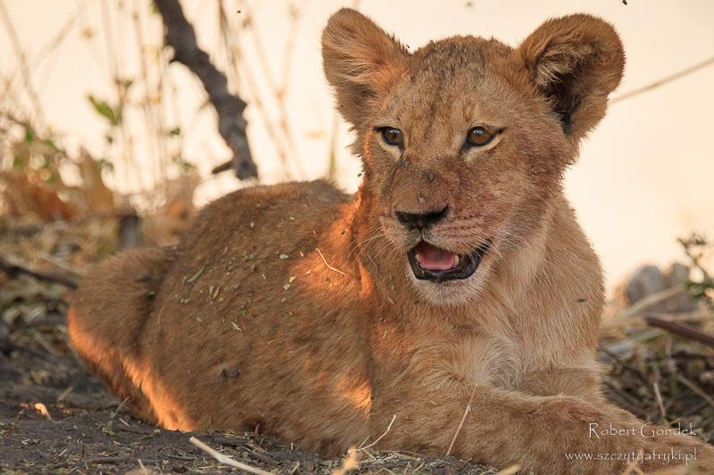 Najlepsze zdjęcia roku 2017 - Lew w Parku Narodowym Chobe - Botswana