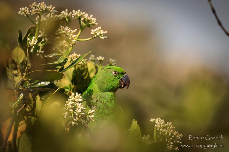 Fotografowanie ptaków na Mauritiusie: Aleksandretta Krótkosterna na Mauritiusie