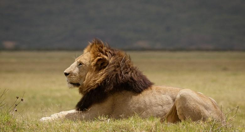 Samiec lwa w kraterze Ngorongoro