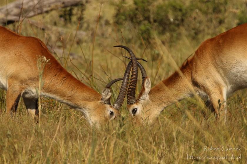Trzeci dzień safari - Moremi Game Reserve