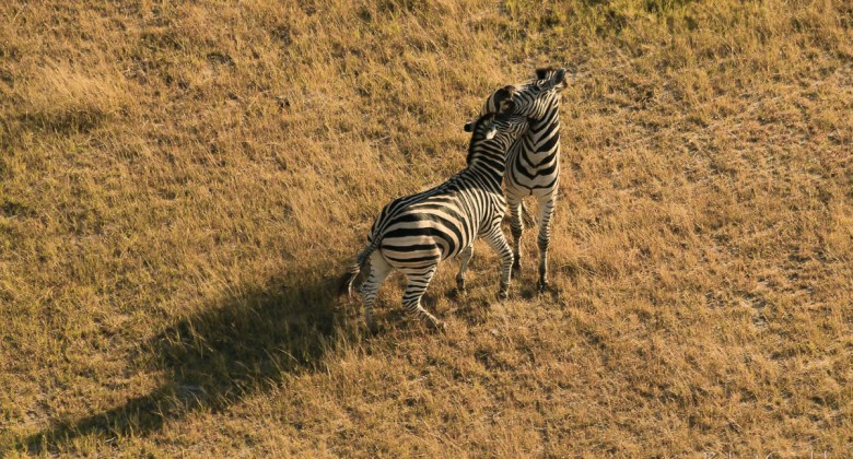 Zebry - widok z helikoptera