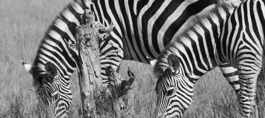 Zebry z Moremi Game Reserve