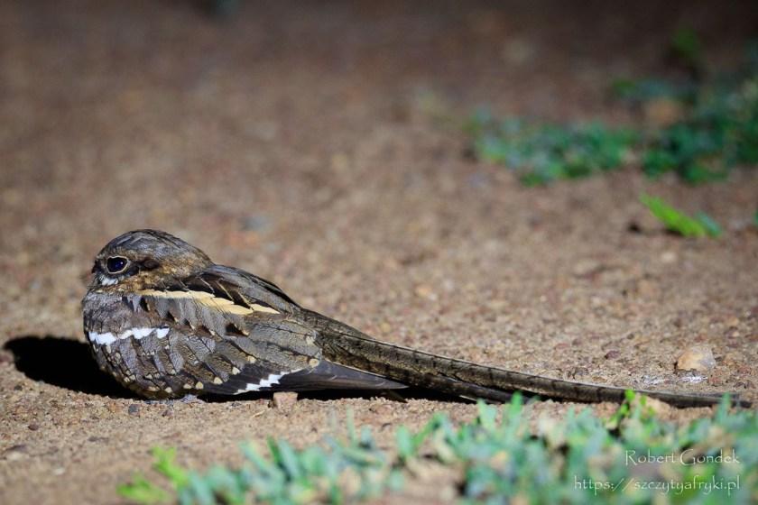 Fotografowanie ptaków w Ghanie - Lelek ostrosterny nocą