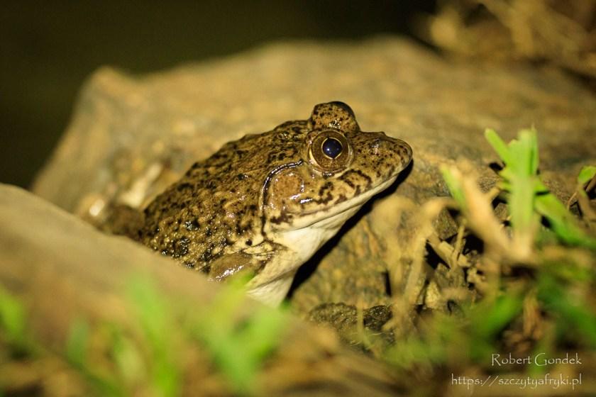 Nocny portret żaby