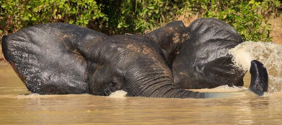 Park Narodowy Mole – słoń w kąpieli