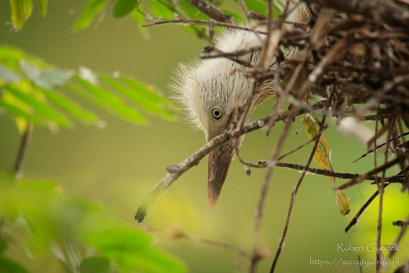 Ptaki w Ghanie – Młoda czapla złotawa