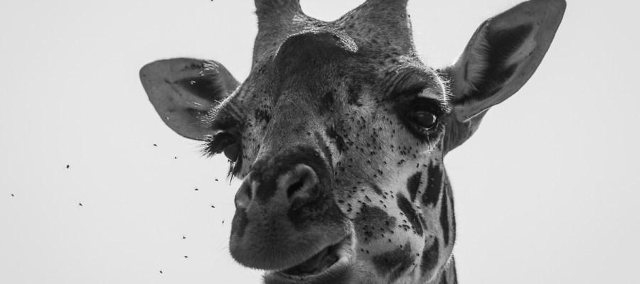 Żyrafa w rezerwacie Masai Mara w Kenii