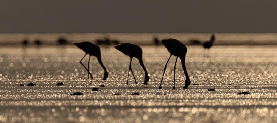 Flamingi małe nad jeziorem Natron w Tanzanii
